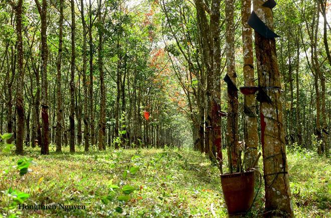 Tuyệt vời rừng cao su gia lai mùa thay lá - 8