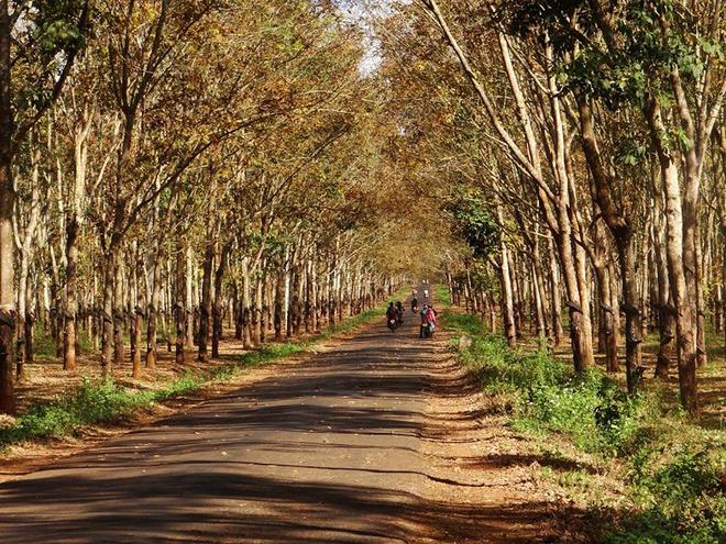 Tuyệt vời rừng cao su gia lai mùa thay lá - 9