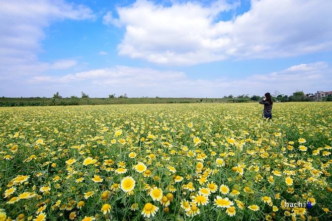 Cánh đồng hoa cải cúc vàng rực ở ngoại ô Hà Nội