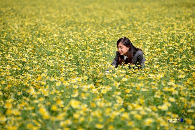 Mùa hoa cải cúc rực rỡ ở ngoại ô Hà Nội