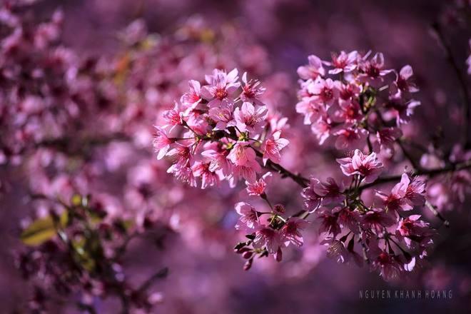 Đón xuân cùng hoa mai anh đào ở Đà Lạt