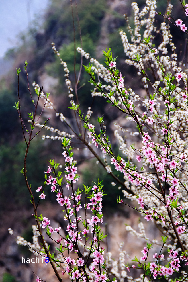 Mùa hoa nở rực rỡ trên miền đá Hà Giang