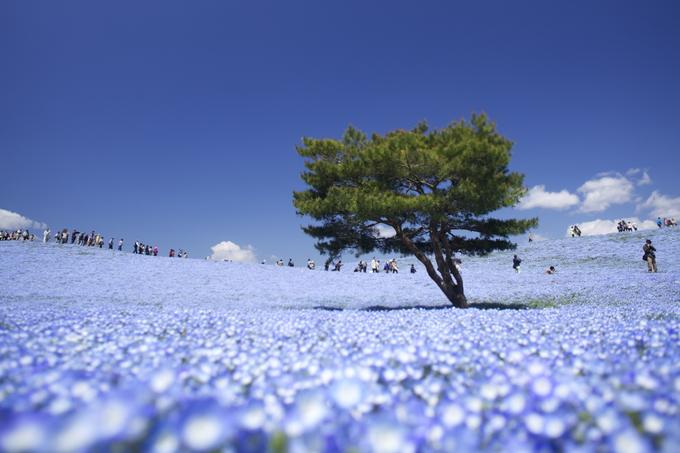 'Biển hoa' ở công viên Hitachi Seaside Nhật Bản