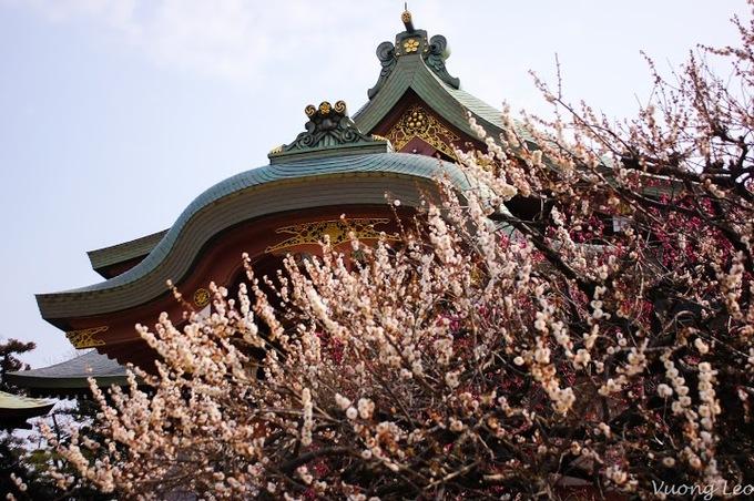 Mùa hoa mận bừng nở ở Nhật Bản