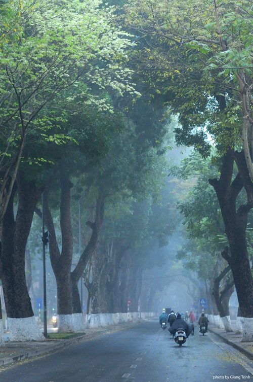 Hoa sưa nở muộn giữa sương mù Hà Nội