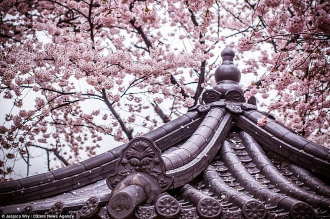 Mùa hoa anh đào ở Nhật Bản và Hàn Quốc