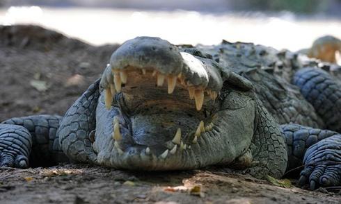 Cá sấu cắn chết du khách tại Indonesia