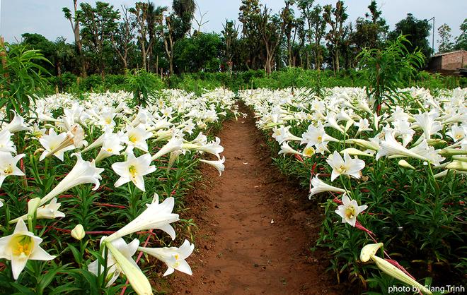 Vườn hoa loa kèn nở bung trắng muốt