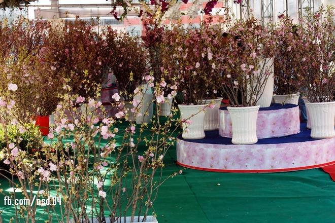 Hoa anh đào khoe sắc trong lễ hội ở Đồng Nai