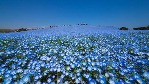 Những bức hình được chụp từ công viên Hitachi, Nhật Bản. Đây là điểm đến hấp dẫn, nằm bên bãi biển Ajigaura xinh đẹp, rộng 19 héc-ta, nổi tiếng với nhiều cánh đồng hoa đẹp thay nhau nở rộ quanh năm.