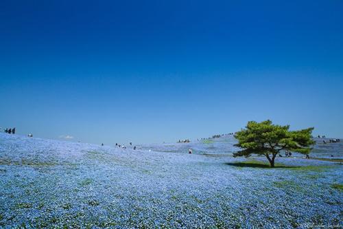 Cánh đồng màu xanh bát ngát này là đồng hoa thuộc loài Nemophila, có màu sắc bầu trời đặc trưng. Hoa có tên đôi mắt màu xanh giống như hình dạng của chúng.
