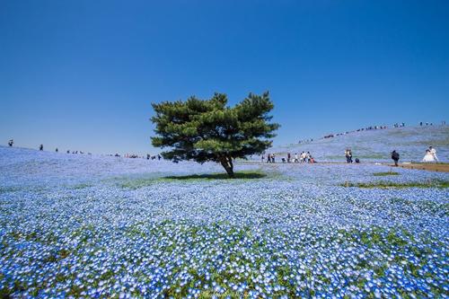 Nhiếp ảnh gia Hidennobu Suzuki đã ghi lại những bức hình với màu xanh đẹp mê hoặc của hoa mắt xanh. Ông cũng là người có nhiều tác phẩm đẹp về nhiều loài hoa của Nhật Bản.