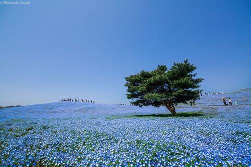 Lễ hội ngắm hoa Hanami Nemophila diễn ra hàng năm tại công viên thu hút đông đảo du khách đến từ trong và ngoài nước. Công viên bờ biển Hitachi cũng là nơi tổ chức liên hoan nhạc rock lớn nhất ở Nhật Bản. Liên hoan diễn ra trong ba ngày vào tháng 8 hàng năm.