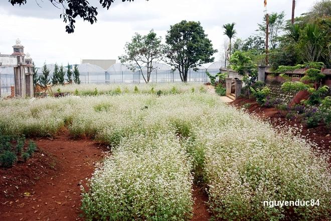 Vườn hoa tam giác mạch nở rộ ở Đà Lạt