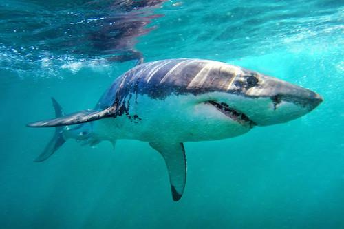 Sát thủ nguy hiểm nhất của đại dương. Ảnh: Matthew Karsten.