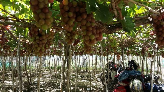 Đầu hè khám phá vườn nho Ninh Thuận