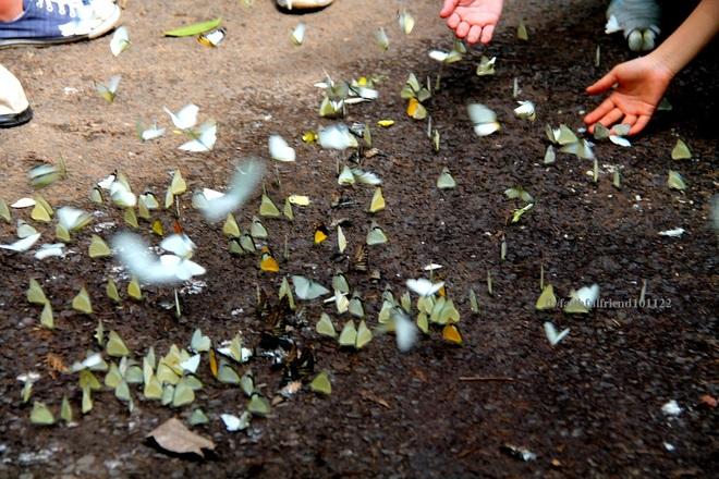 Mùa bướm bay rợp trời ở Cát Tiên
