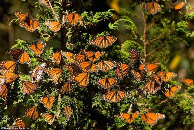 Rừng bươm bướm đẹp như cổ tích ở Mexico
