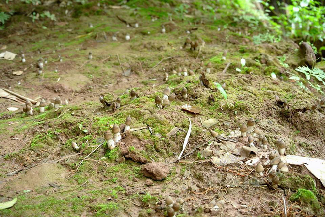 Đặc sản nấm mối chỉ có vào mùa mưa ở miền Tây