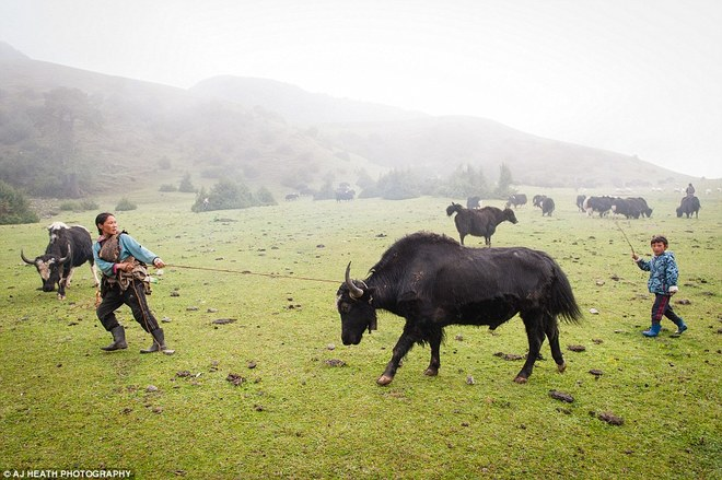 Bo lac song dua vao nuoi bo o Bhutan