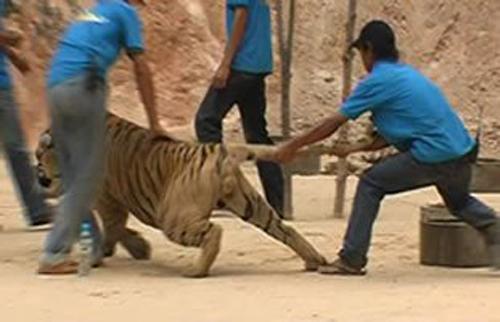 Nước mắt của hổ trong ngành công nghiệp du lịch Thái Lan