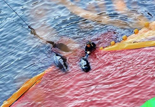 Mùa tàn sát cá heo đẫm máu ở Nhật Bản