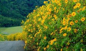 Tháng 10 - mùa săn lúa chín và hoa dã quỳ