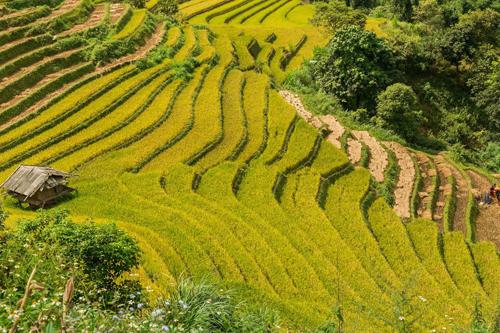 Năm nay, các vựa lúa có phần chín sớm nên nếu đầu tháng 10 mới ghé thăm Mù Cang Chải, bạn có thể bỏ lỡ một phần cảnh đẹp của các ruộng bậc thang nơi đây.