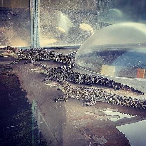Những con cá sấu ở đây thuộc loài cá sấu nước mặn có nguồn gốc từ Australia. Chúng nổi tiếng với khả năng ẩn mình dưới mặt nước để rình mồi. Bình thường để đến gần chúng là việc không hề đơn giản.