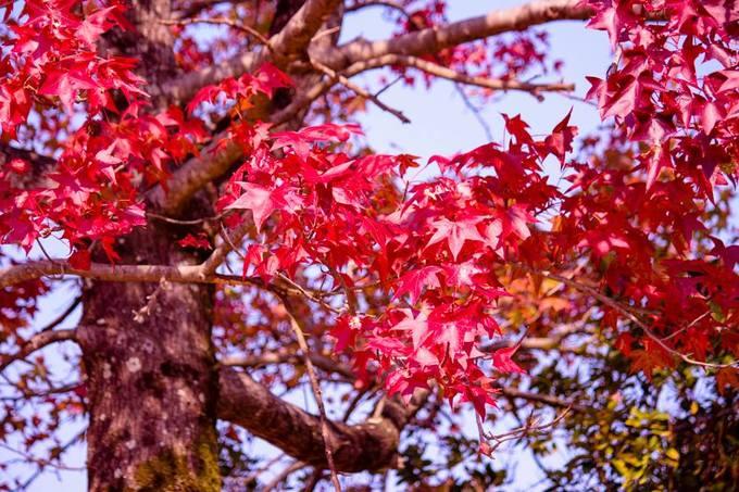 Vẻ đẹp thơ mộng mùa lá đỏ Nhật Bản