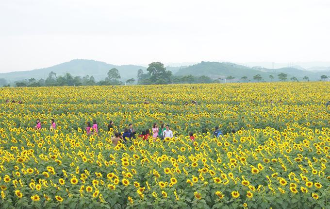 Cánh đồng hoa hướng dương lớn nhất Việt Nam trước ngày khai hội