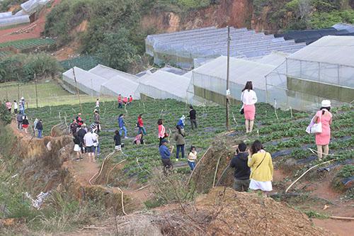 Ngoài dâu tây thì rau thuỷ canh và những cây trái lạ cũng được nhiều du khách tìm đến tham quan và mua sản phẩm ngay tại vườn.