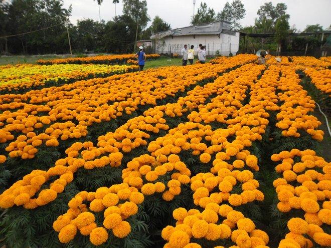 Làng hoa Cái Mơn khoe sắc dịp giáp Tết