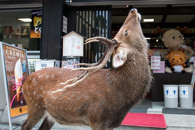 Thành phố thả rông nghìn con hươu sống chung với người