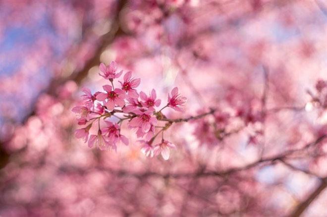 5 điểm đến lý tưởng để ngắm hoa đào, hoa mận