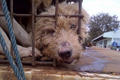 Những con chó bị đánh đập tàn nhẫn. Ảnh: Soi Dog Foundation.