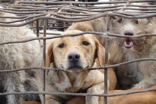 70% lượng thịt chó tiêu thụ trên thị trường là vật nuôi bị đánh cắp. Ảnh: Soi Dog Foundation.