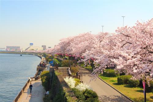 Chiêm ngưỡng những loài hoa đẹp nổi tiếng ở xứ Phù Tang - ảnh 1