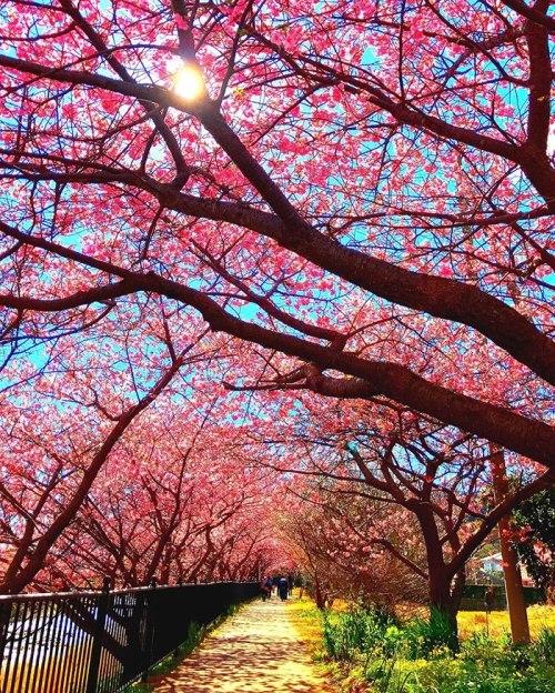 Ngôi làng Nhật rực hồng mùa hoa anh đào