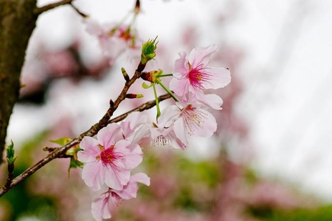 Lịch trình hoa anh đào nở ở Đài Loan