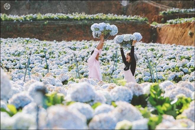 Cánh đồng hoa cẩm tú cầu đẹp như tranh vẽ ở ngoại ô Đà Lạt