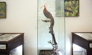 Giống gà quý con trai Nhật hoàng tặng bảo tàng Việt Nam