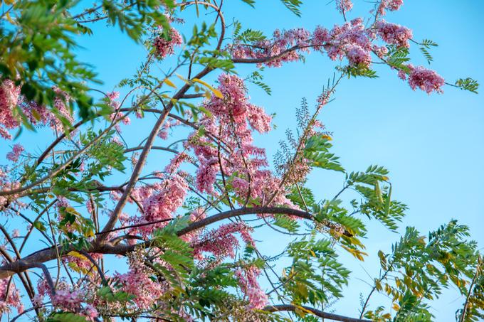 Du lịch bình thuận 4a-1488249910_680x0 Hoa đỗ mai và keo lá tràm nở rực rỡ ở Phan Thiết Khám phá