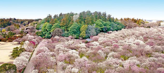 Khu vườn nở đầy hoa mận đi chẳng muốn về ở Ibaraki