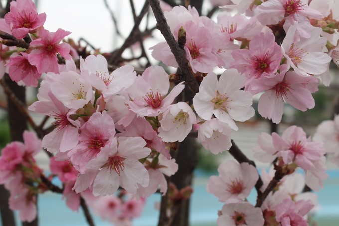 5.000 cành hoa anh đào khoe sắc ở Bắc Ninh