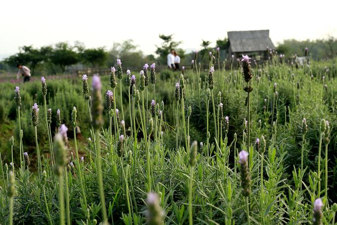 Vườn hoa oải hương 1.500 m2 đầu tiên ở Hà Nội