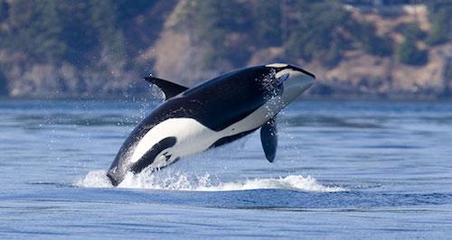 Đặc sản cá voi khiến du khách lạnh gáy ở Caribbean - Ảnh minh hoạ 4