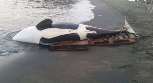 Đặc sản cá voi khiến du khách lạnh gáy ở Caribbean - Ảnh minh hoạ 6