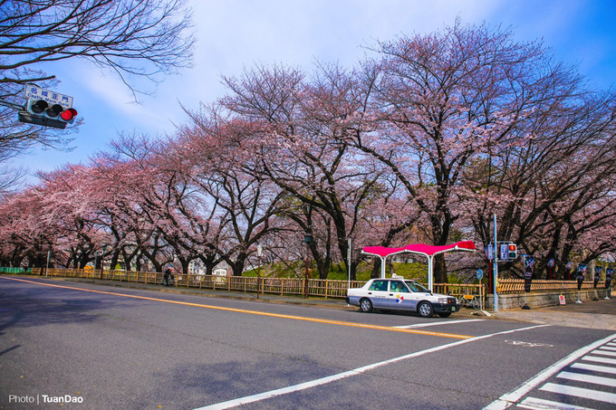 Nhật Bản rực rỡ sắc hoa anh đào