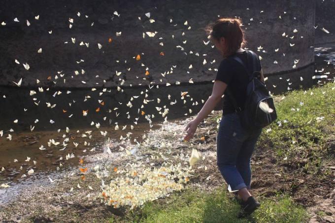 Mùa bướm trắng bay rợp trời ở Cúc Phương
